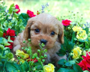 Low Shed Micro Mini Goldens Precious and LB READY MID Sept