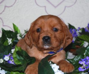 Dark blue collar Lucy and Lb ready late Feb 2018