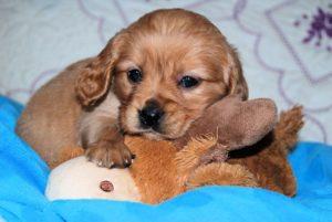 Tinest male puppy